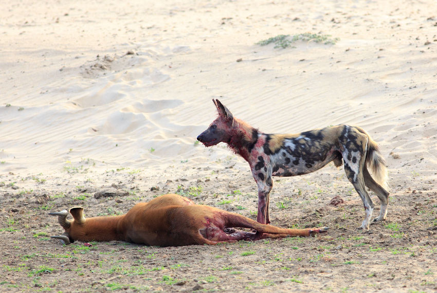 Endangered Species Nature Nature Photography Painted Dog South Luangwa National Park Wild Dogs Wildlife Photos Animal Behaviour Animal Kill Animal Themes Animal Wildlife Day Dog Mammal Nature No People Outdoors Safari