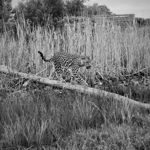 Leopard Hidden Blacknwhite Spotted Walking The Line Tree Bridge Reeds Stalking
