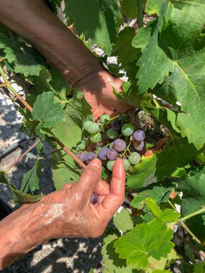 Vine - Plant Vineyard Grapes Human Hand Hand Human Body Part Leaf One Person Plant Part Plant Lifestyles Real People Personal Perspective