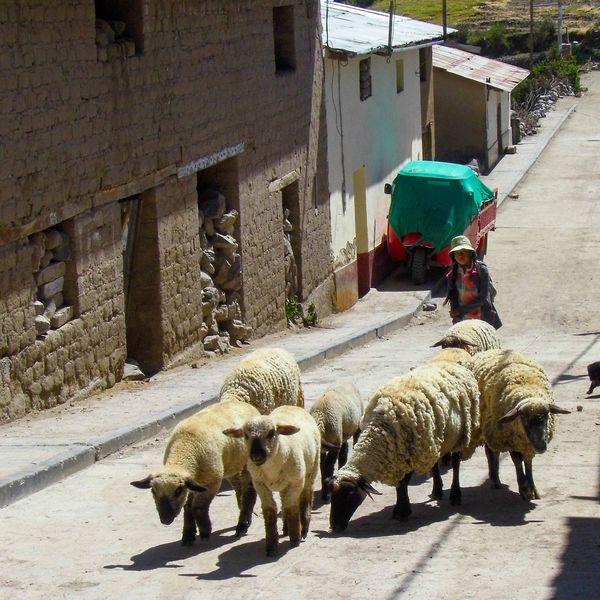 The Street Photographer - 2017 EyeEm Awards Mammal Outdoors Sunlight Sheep Shepherd Town Street