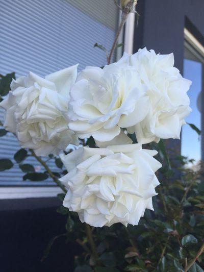 White roses 🌸🍃🌸 Whiterose Roses Flowers Nature