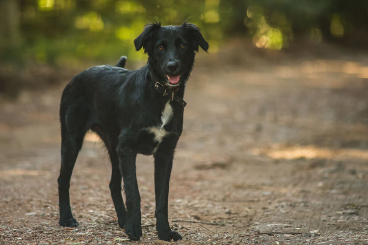 Dog Canine One Animal Domestic Animals Domestic Pets Mammal Looking At Camera Portrait Black Color Vertebrate Land No People Focus On Foreground Field Nature Standing Mouth Open