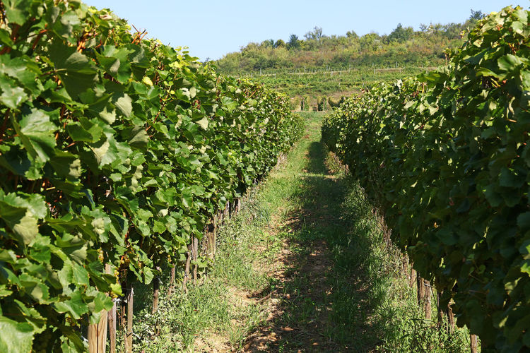 Summer vineyard Plant Growth Direction The Way Forward Green Color Landscape Nature Agriculture Rural Scene Field Land Day Diminishing Perspective Tranquil Scene Tranquility Scenics - Nature Vineyard Plantation Outdoors No People Winemaking Grape Tokaj Wine Region