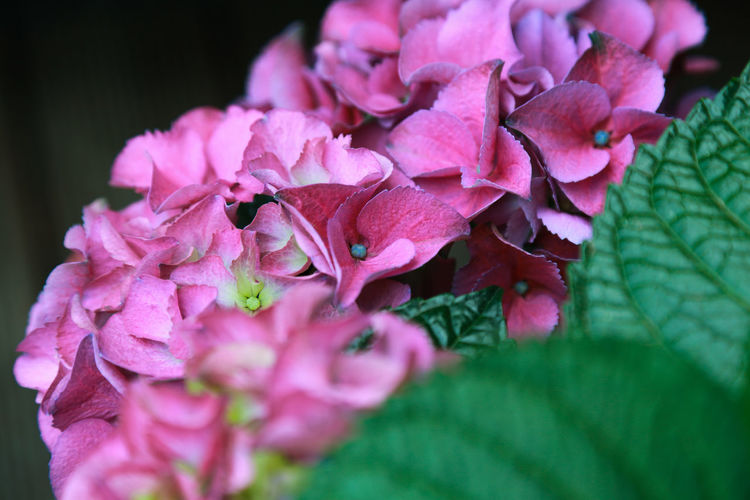 Beauty In Nature Bunch Of Flowers Close-up Day Flower Flower Head Flowering Plant Fragility Freshness Growth Hortensia Flower Hydrangea Inflorescence Leaf Lilac Nature No People Petal Pink Color Plant Plant Part Purple Selective Focus Springtime Vulnerability