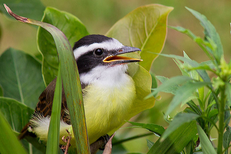 Infant kiskadee calling his mother Great Kiskadee Infant Kiskadee Animal Themes Bird Animals In The Wild Vertebrate Animal One Animal Animal Wildlife Plant Part Leaf Close-up Nature No People Focus On Foreground Green Color Infant Bird Bird Singing Pitangus Sulphuratus Day Perching Young Bird