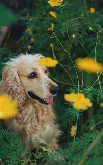 Alert Alert Dog Alertness Animal Themes Close-up Cocker Spaniel  Day Dog Domestic Animals Flower Garden Golden Retriever Golden Retriever Mammal Nature No People One Animal Outdoors Pets
