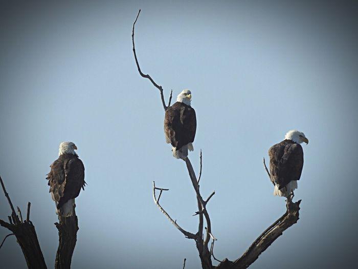 Bald Eagle Hanging Out Enjoying Life Eagles