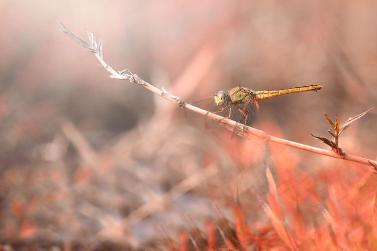 dragonfly on the twig Focus On Foreground Plant Day Close-up Nature Animals In The Wild Animal Wildlife No People Selective Focus Invertebrate Animal Themes Animal Outdoors Insect Twig One Animal Beauty In Nature Dry Plant Part Fragility Dead Plant Wilted Plant