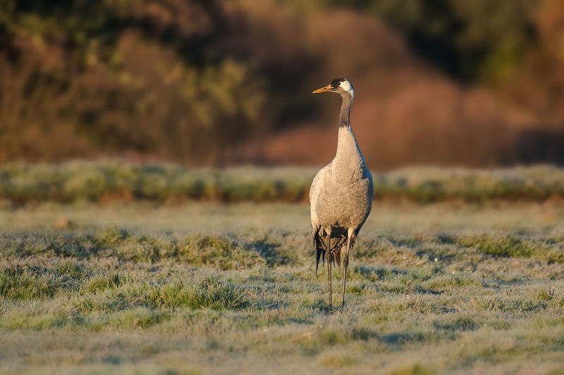 Common Crane Grus Grus Grulla Animals In The Wild Animal Wildlife Vertebrate Bird Animal Themes One Animal Animal Selective Focus Field Nature Land Plant Grass No People Day Outdoors Full Length Goose Standing Beauty In Nature Gosling
