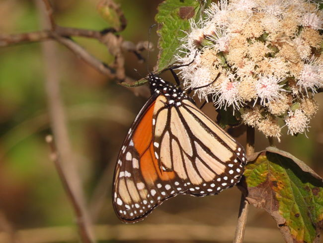 Migración Mariposa Monarca Beauty In Nature Butterfly Butterfly - Insect Close-up Day Fragility Freshness Insect Migrating Monarch Butterfly Nature No People One Animal Outdoors White Flower