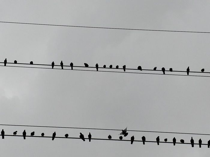 Animal Animal Themes Animal Wildlife Animals In The Wild Bird Cable Clear Sky Connection Electricity  Flock Of Birds Group Of Animals In A Row Large Group Of Animals Low Angle View Nature No People Outdoors Perching Power Line  Power Supply Sky Telephone Line Vertebrate