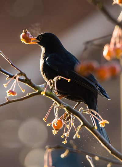 Amsel mit Zierapfel Animal Themes Animals In The Wild One Animal Bird Perching Animal Wildlife Focus On Foreground Close-up Branch Nature Food Day No People Outdoors