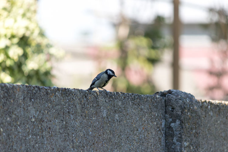 Great Tit, Animal Animal Themes Animal Wildlife Animals In The Wild Bird Black Color Concrete Day Focus On Foreground Nature No People One Animal Outdoors Perching Retaining Wall Side View Solid Tree Vertebrate Wall Wall - Building Feature