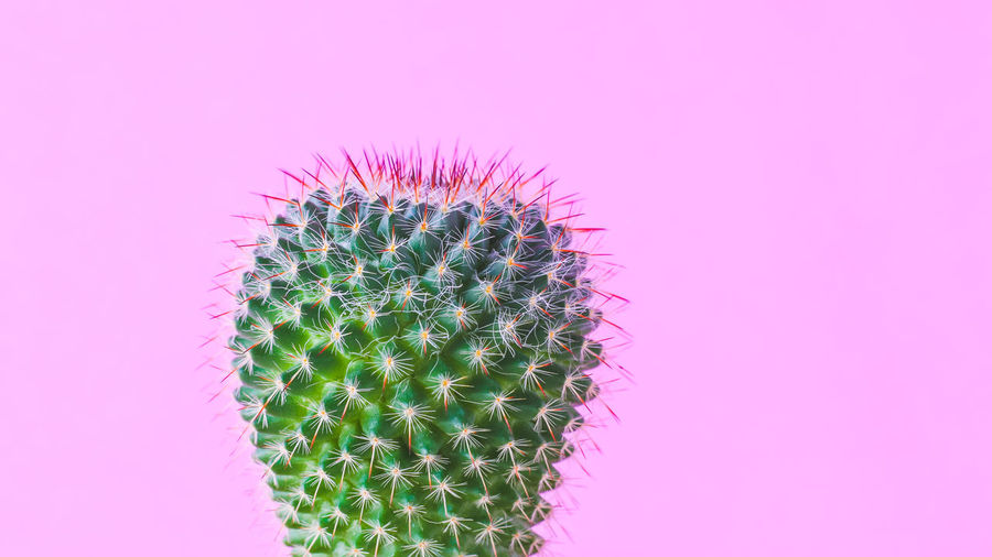 Close-up of cactus plant against pink background