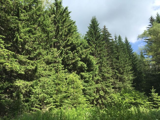 Green green green Beauty In Nature Cloud Day Forest Forest Park Forest Photography Forest Trees Green Green Color Growing Growth Landscape Lush Foliage Nature No People Non-urban Scene Pine Tree Pinetrees Plant Sky Tree Vitosha Vitosha Mountain Vitosha Mountain Sofia, Bulgaria Vitosha National Park