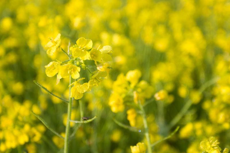 Yellow Fresh