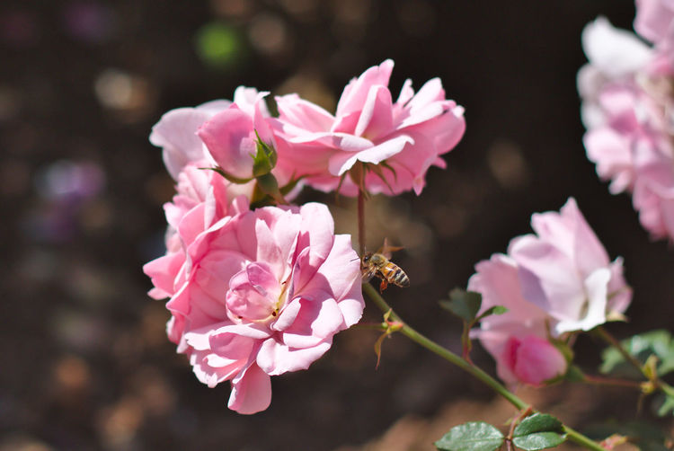 Close-up of pink wild roses