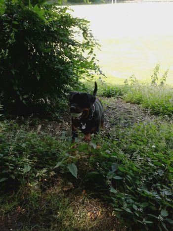 Dog❤ Rottweiler Mein Hund Hunderunde Unterwegsunddraußen Hundeleben In Germany Capture The Moment Dogoftheday Playing With My Dog