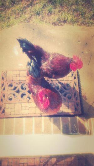 Diana's Ol Ugly Ahhhhh Chickens