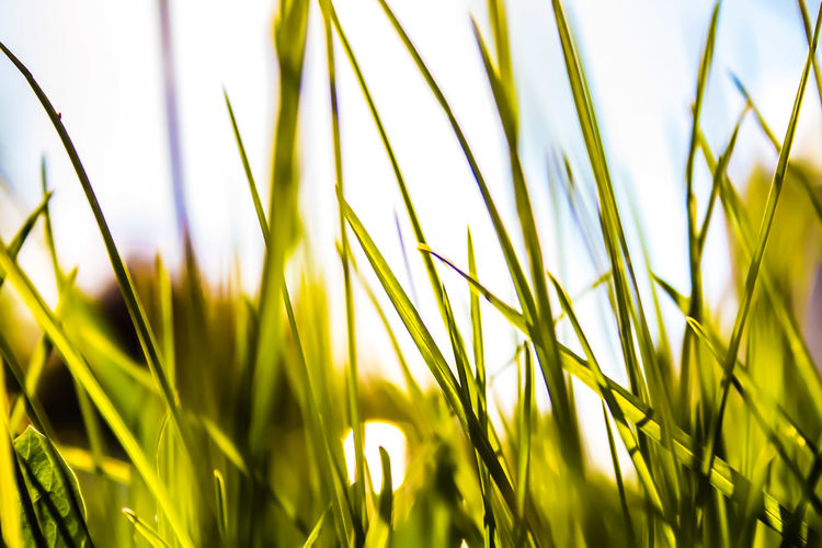 Close-up of fresh grass in field against bright sky