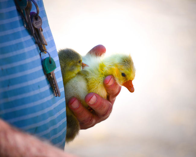 Close-up of man holding ducklings