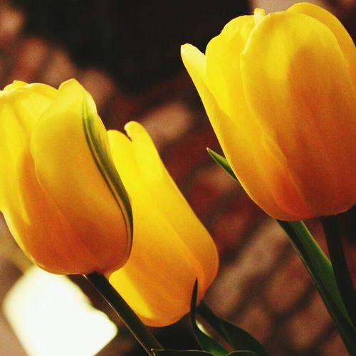 Flowers Tulip Yellow Spring