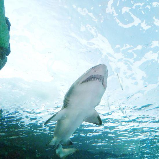 UnderSea Sea Life Whale Swimming Sea Underwater Aquatic Mammal Water Animal Fin Shark