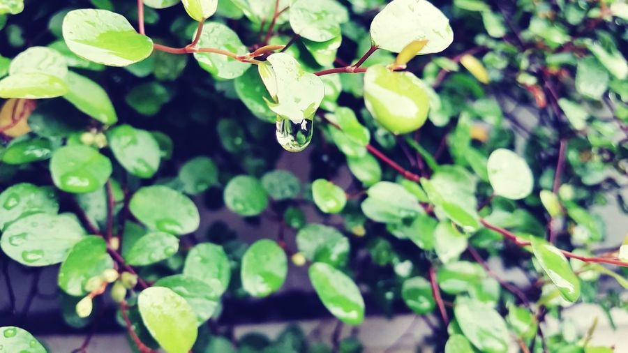 Green Color Plant Outdoors Freshness Day Smartphone Photography Samsung Galaxy S5 Rainy Season Rainyseason Focus On Details Rain Drops On Flower Rain Drop On Plant