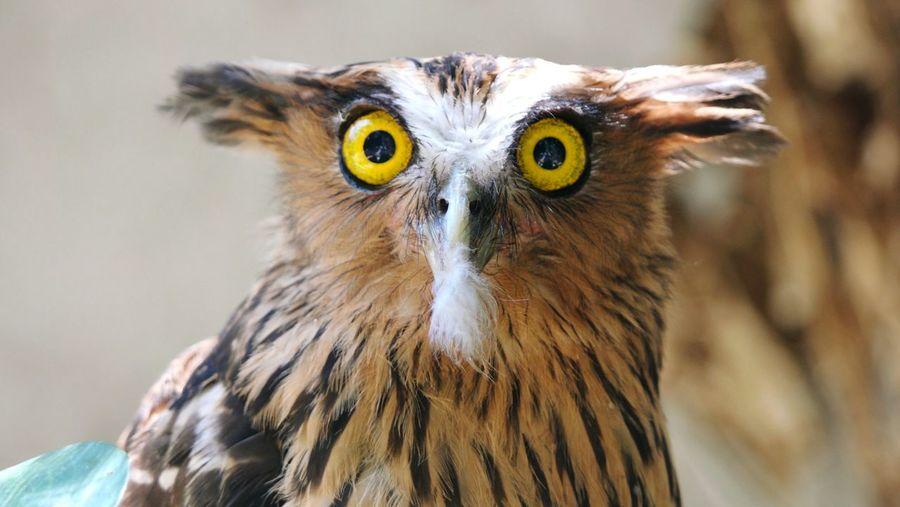 Owl Yellow Eyes Portrait Close-up Gesicht Gelb Vogel Eule Schnabel Beak Face To Face FaceShot Gesichtsausdruck Erstaunt Erwischt Bird's Eye View Birdseyeview