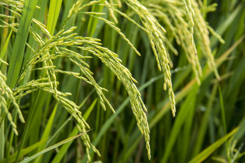 Growth Plant Green Color Agriculture Crop  Cereal Plant Close-up Beauty In Nature Nature Rural Scene Land Field Farm Landscape Rice Day No People Wheat Full Frame Plantation Blade Of Grass Rice Paddy Rice - Cereal Plant Rice Grain INDONESIA