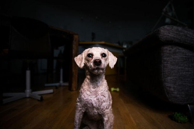 Alert poodle dog indoors