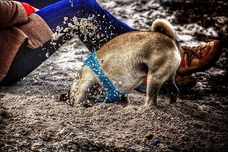 Die Lieblingsbeschäftigung von meinem Mops Pug Puglife Flatenosesociety Animals Balticsea Photooftheday Total_shots Total_shotz Loves_animals­ Loves_dogs Ig_great_pics Ig_great_sh­ots World_bestanimal Instalife_shot Be_one_natura Be_one_rural Insta_gram_shooters Totalfauna Gallery_of_all Ig_snapshots Daily_captures­ Daily Photo Daily_photoz Daily_photography_ bestgermanypics ig_germany igersgermany hdr_germany