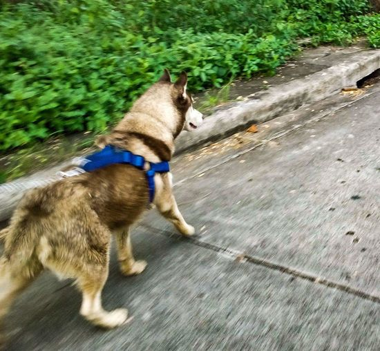 RUN! Dog Pets Animal Themes One Animal Dog Lead Day No People Grass Tree Nature Pet Leash Outdoors Huskyphotography First Eyem Photo Running Domestic Animals Mammal Full Length First Eyeem Photo