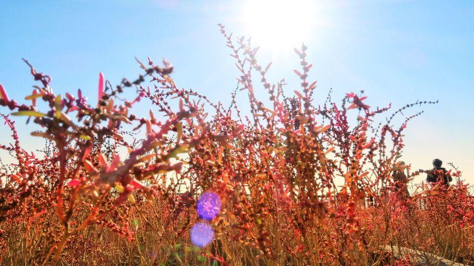 シチメンソウ 干潟よか公園 Growth Nature Flower Beauty In Nature Day Outdoors Sky Low Angle View Plant Sunlight No People Freshness Fragility Tree Branch Close-up