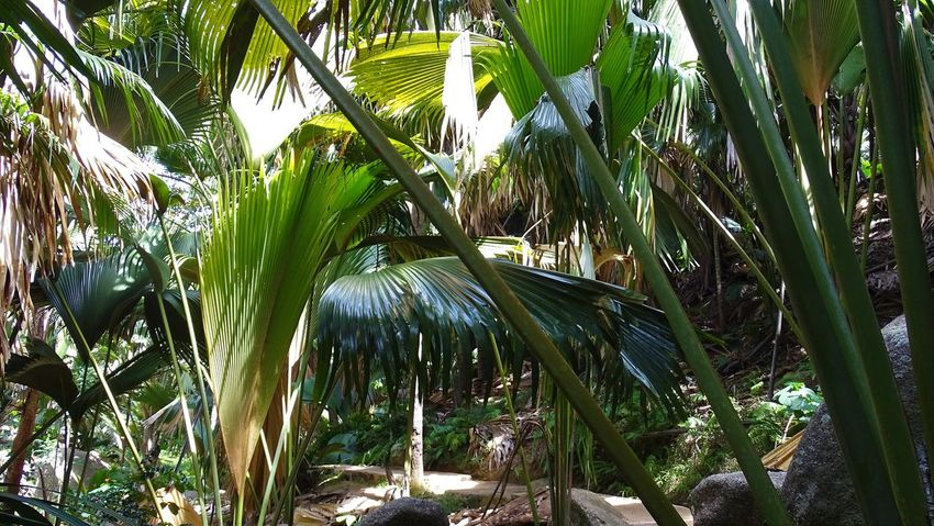 Coco De Mar Fond Ferdinand Palmen Tree Coco De Mer Praslin Praslin Island Seychellen Коко де Мар Сейшельские острова 塞舌爾