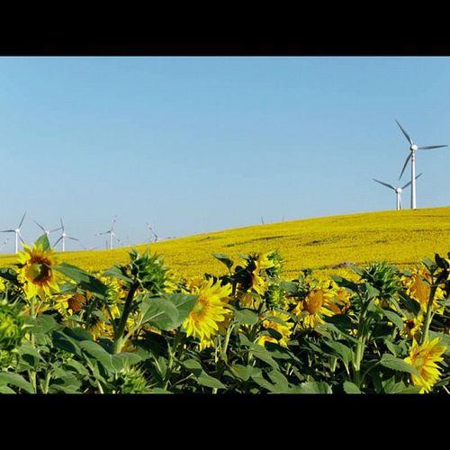 Wind farm #turbine #sunflower #bee #honey #43 #olympus #getolympus #e5 #apulia #italy #instapulia #power #energy #landscape #dxo #istockphoto Dxo Instapulia Sunflower Bee Landscape Italy Olympus Power Honey Energy Istockphoto 43 Apúlia Turbine E5 Getolympus