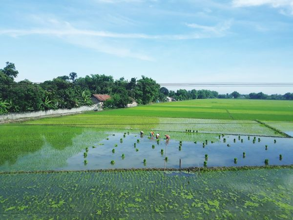 Farm Crop  Rural Scene Cultivated Land Rice - Cereal Plant Landscape Nature