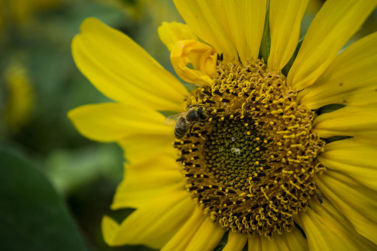 Paint The Town Yellow Sunflower Bee Close-up Flower Flower Head Outdoors Yellow First Eyeem Photo