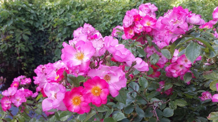Flower Head Flower Pink Color Petal Springtime Plant