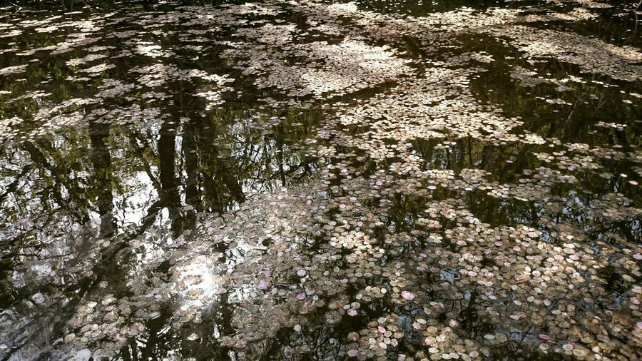 Sakura Petals Water Reflections Light And Shadow Cherry Blossoms Petals Water Surface Sun Light Nature Spring Report EyeEm Nature Lover