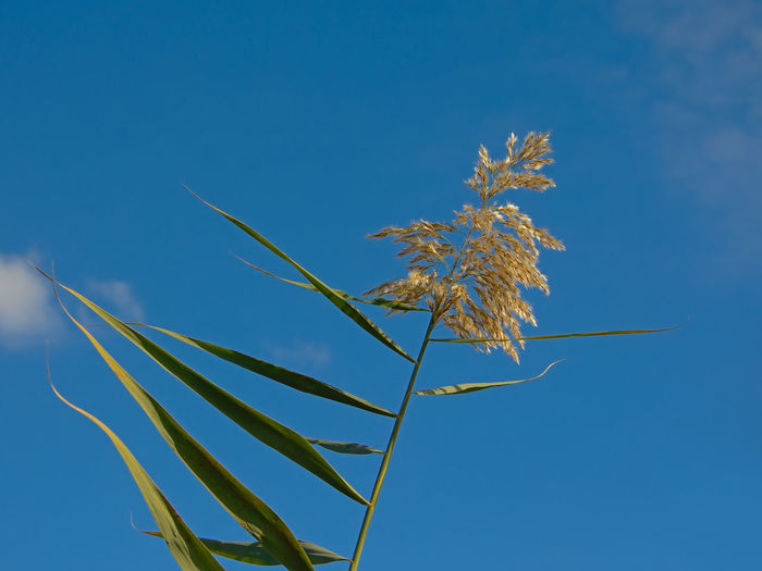 Top of giant reed on a blue sky in Guadalhorce river estuary nature reserve in Malaga - Arundo donax Giant Reed Arundo Donax Poaceae Plant Growth Focus On Foreground Flowering Plant Environment Pneumatic Spanish Cane Clear Sky Close-up Low Angle View Beauty In Nature Outdoors Botany Botanical Grass Copy Space