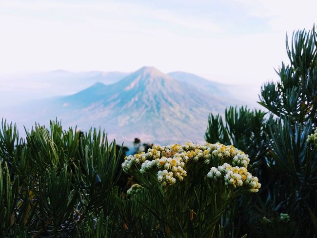 and we call it the eternal Edelweiss Edelweissflower Mountain View Indonesia Photography  Landscape_photography Landscape INDONESIA Wonosobo Pesonaindonesia Sumbing Sindoro Sky Plant Volcano Mountain Peak Active Volcano EyeEmNewHere