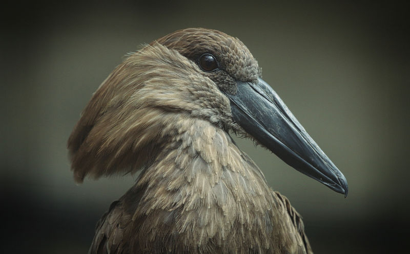 Hamerkop Animal Animal Body Part Animal Head  Animal Neck Animal Themes Animal Wildlife Animals In The Wild Beak Beauty In Nature Bird Close-up Day Focus On Foreground Gray Nature No People One Animal Outdoors Side View Vertebrate Vignette