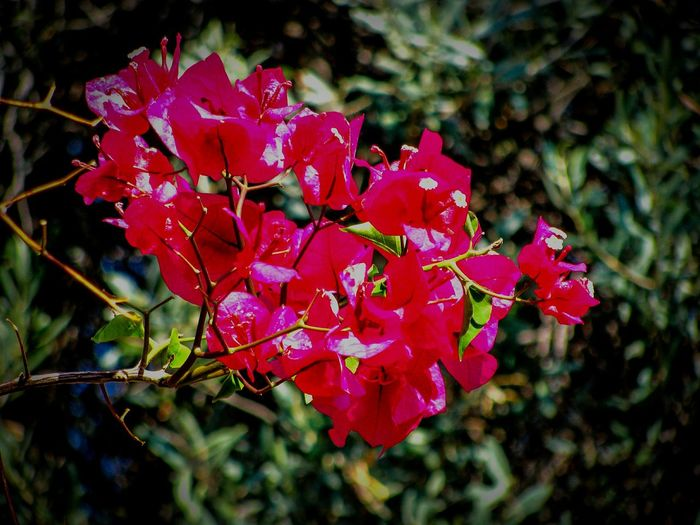 What Who Where What:flowers Who:no People Where:in The Garden Bougainvillea Flowers Garden Nature Red Beauty In Nature Focus On Foreground Growth Freshness Petal Flower Plant Close-up Garden Photography Urban Gardening No People Shades Of Red