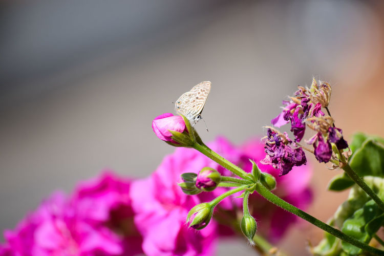 Small butterfly on pink geranium