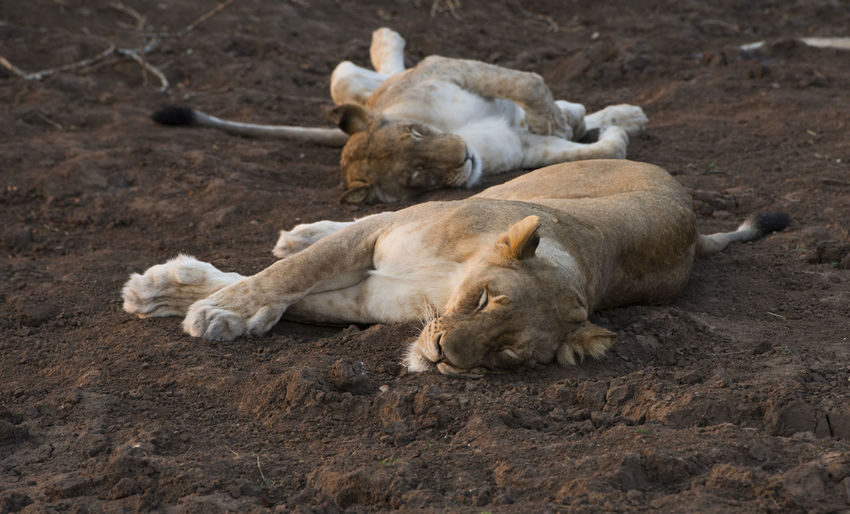 Close-up of sleeping lions