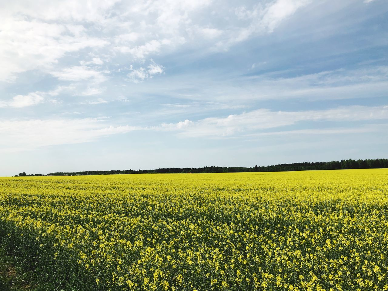 yellow, landscape, beauty in nature, field, flower, land, cloud - sky, sky, agriculture, rural scene, scenics - nature, flowering plant, tranquil scene, environment, oilseed rape, tranquility, growth, plant, crop, nature, farm, no people, outdoors, springtime