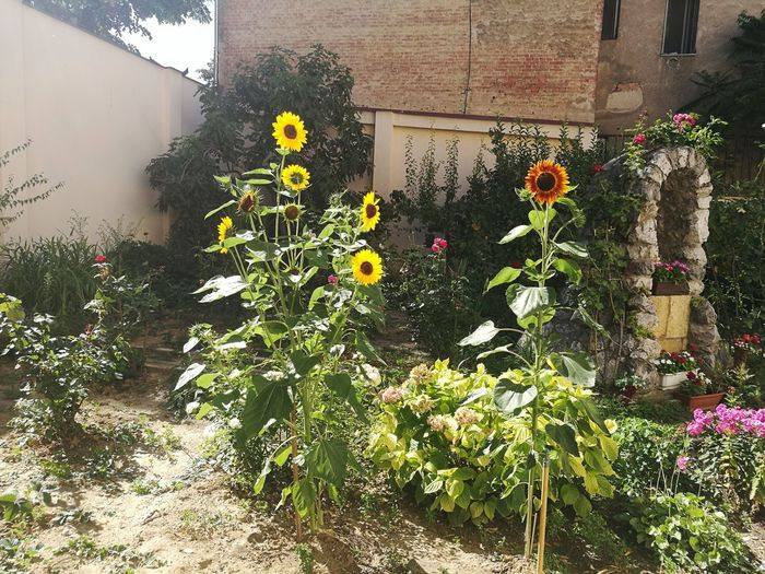 Sunflower Flower Plant Nature Building Exterior Architecture Outdoors Growth Day Sunny Freshness Beauty In Nature Beautiful Myfavoriteflower