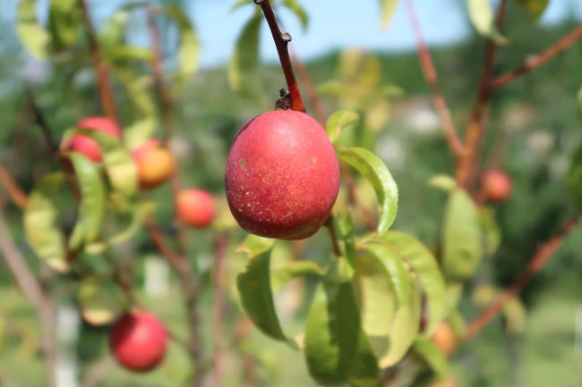 Nectarine in a tree Nectarine Nectarines Branch Close-up Food Food And Drink Freshness Fruit Fruits Garden Growth Hanging Nature No People Organic Organic Food Outdoors Peach Peaches Peaches🍑 Plant Plant Part Red Ripe Tree