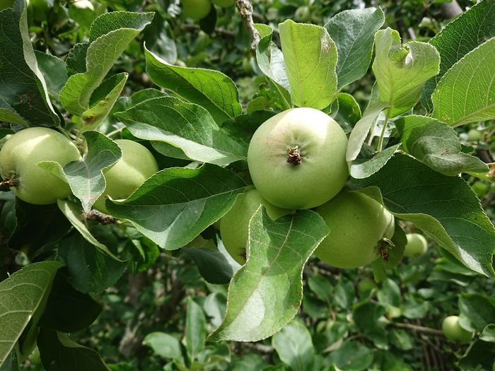Tree branch with green unripe apples Apple Green Unripe Apple Apple - Fruit Apple Tree Apples Close-up Day Food Food And Drink Freshness Fruit Green Color Growth Healthy Eating Leaf Nature No People Outdoors Plant Part Tree Unripe Unripe Fruit Unripe Fruits Wellbeing